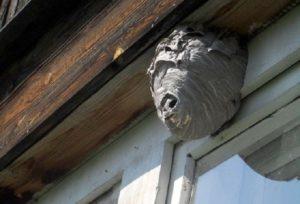 Что сделать, чтобы осы на балконе впредь не заводились
