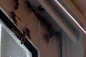 Как избавиться от случайно залетевшей на балкон осы?