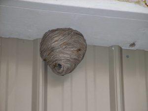 Как выгнать ос с балкона, если там уже целое осиное гнездо?